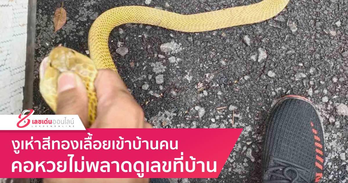 งูเห่าสีทองเลื้อยเข้าบ้านคน คอหวยไม่พลาดดูเลขที่บ้าน