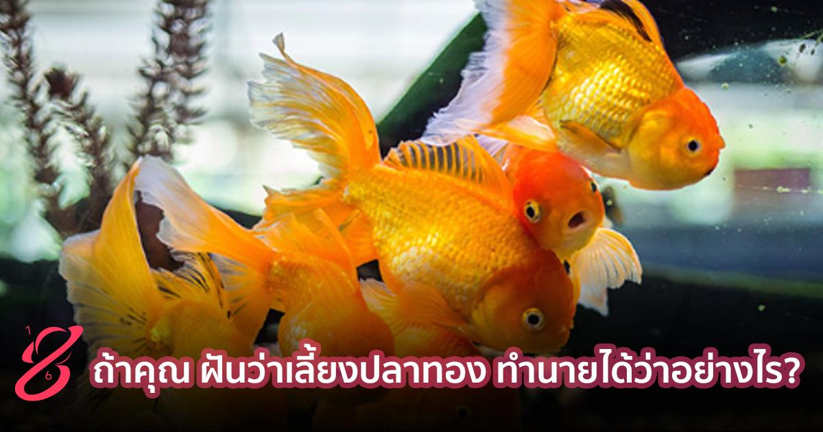 ถ้าคุณ ฝันว่าเลี้ยงปลาทอง ทำนายได้ว่าอย่างไร?