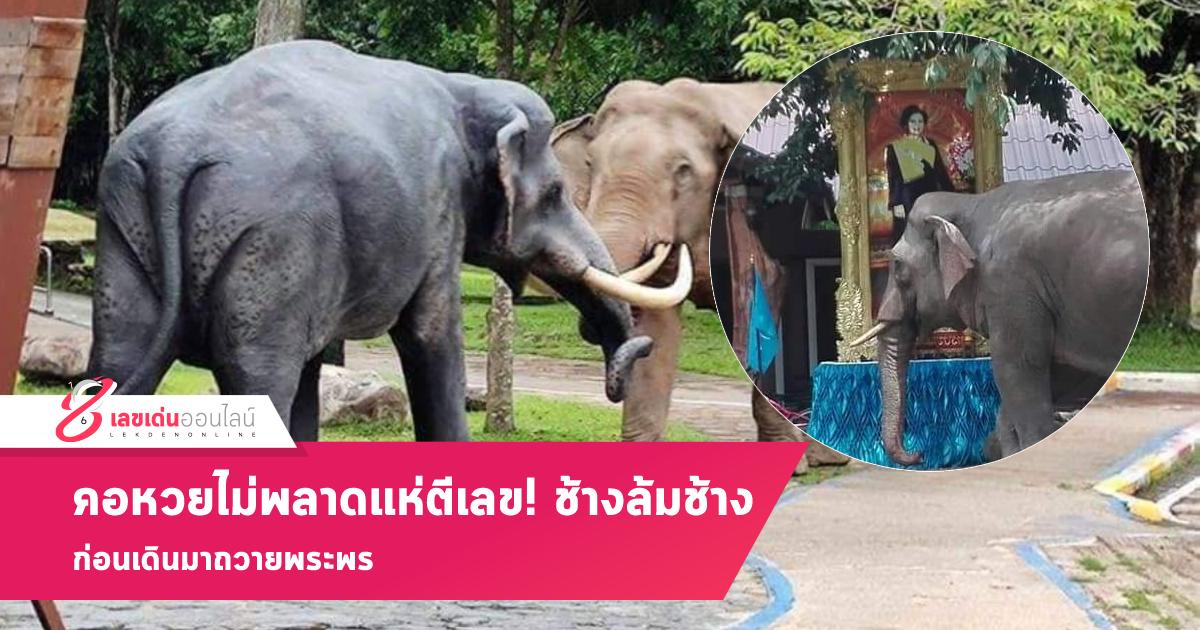 แห่ตีเลข! ช้างล้มช้าง ก่อนเดินมาถวายพระพร คอหวยไม่พลาด งวด 1 ก.ย.64